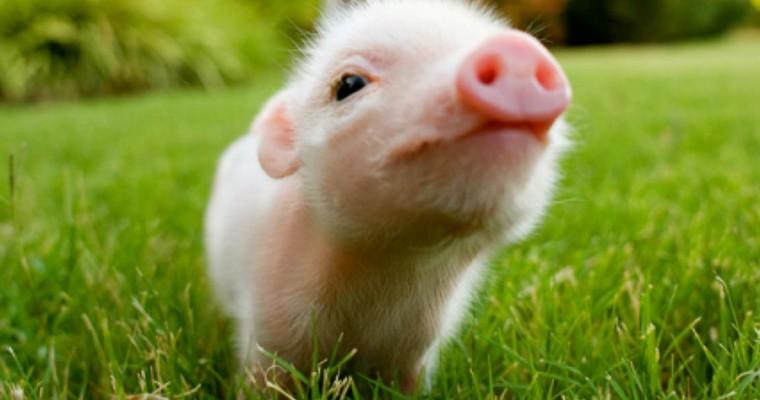 O dia em que o meu irmão quis adoptar um mini porco