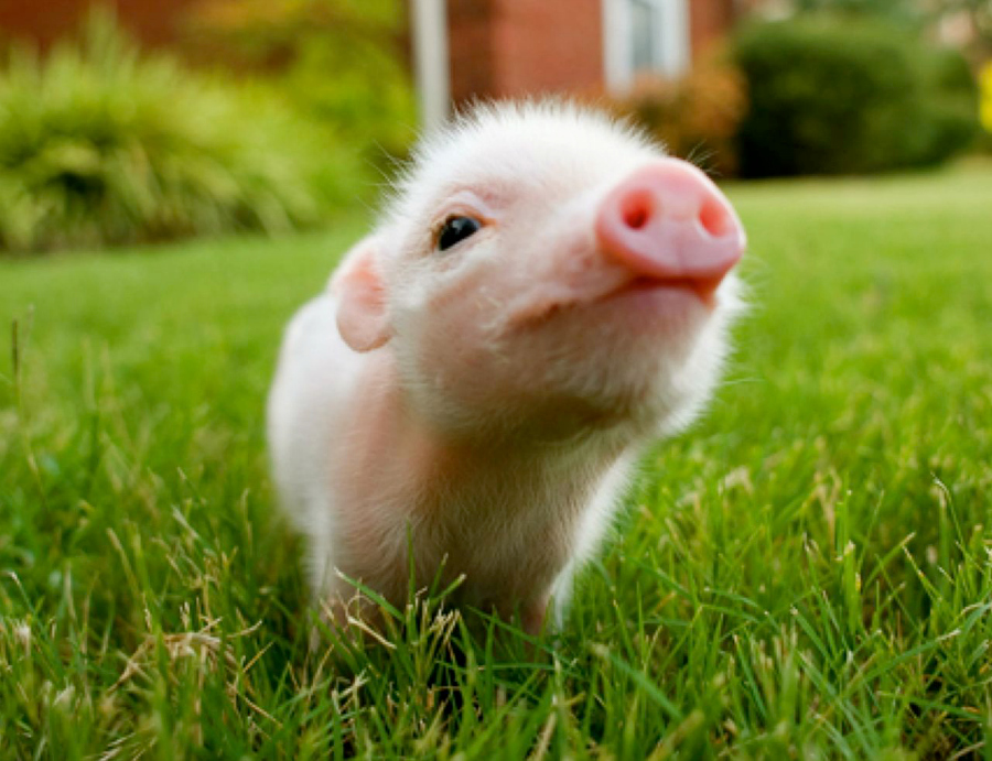 Mini Porco animais de estimação pets legislação portugal